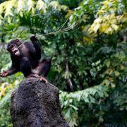 Fest gebettet: Schimpansen haben Baumfavorit für Schlafnest (Foto)