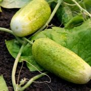 Eine für drinnen, eine für draußen - Gurken selbst anbauen (Foto)