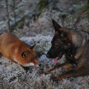 Die Tierfreundschaft von Rotfuchs Sniffer und Schäferhund Tinni erscheint jetzt als Kinderbuch.