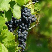 Der namhafte Rotwein aus dem Chianti wird aus derSangiovese-Traube gewonnen.