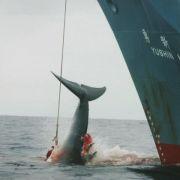Japan setzt Walfang im Nordpazifik fort (Foto)