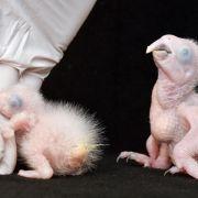 Kleine Spix-Aras: Nachzucht seltener Papageien gelungen (Foto)