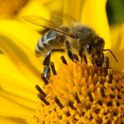 Greenpeace: Pestizide an Blumen gefährden Bienen (Foto)