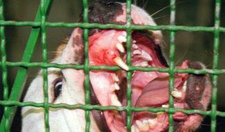 In Deutschland gibt es schätzungsweise mehr als 10.000 so genannte Kampfhunde, die immer wieder durch Angriffe auf Menschen Schlagzeilen machen. (Foto)