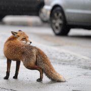 Füchsen und Waschbären in der Stadt mit Abstand begegnen (Foto)
