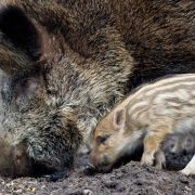 Wildschweine strahlen noch 28 Jahre nach Tschernobyl (Foto)