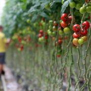 Tomaten warnen vor Feinden und senden zugleich einen Schutz (Foto)