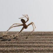 Wüstenspinne: Flick-Flack-Sprünge mit acht Beinen (Foto)
