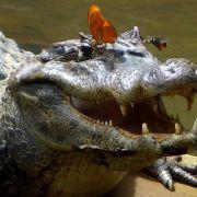 Naturschauspiel: Insekten laben sich an Krokodilstränen (Foto)