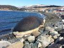 Toter Wal bedroht kleines Dorf