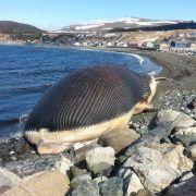 Dieser Blauwal wird explodieren! (Foto)