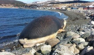 Dieser Blauwal ist vor Neufundland gestrandet. (Foto)