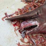Dem Krabbenfischer Carl Moore ging ein äußerst seltener Koboldhai im Golf von Mexiko ins Netz.