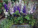 Rittersporn nach der Blüte zurückschneiden (Foto)
