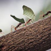 Ameisen: Größenvergleich von Hirnarealen sagt wenig aus (Foto)