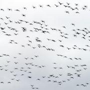 Selbst schwacher Elektrosmog stört die Orientierung von Zugvögeln (Foto)