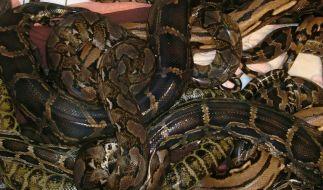 Seit Jahren kämpfen Ranger auf Gran Canaria gegen die Schlangen-Plage. (Foto)