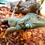 Salmonellengefahr - Reptilien können Kleinkinder anstecken (Foto)