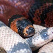 Schlangenplage auf Gran Canaria - Keine Gefahr für Touristen (Foto)