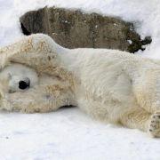 Fetter Eisbär hat kein Problem mit hohem Cholesterinwert (Foto)