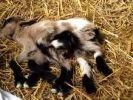 In Kroatien kam eine Ziege mit acht Beinen auf die Welt. Doch große Überlebenschancen hat Oktoziege nicht. (Foto)