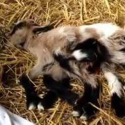 In Kroatien kam eine Ziege mit acht Beinen auf die Welt. Doch große Überlebenschancen hat Oktoziege nicht.