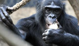 Geht es nach Tierschützern, sollten Menschenaffen wie dieser Bonobo im Frankfurter Zoo Grundrechte genießen. (Foto)