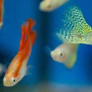 Guppy und Paradiesfisch: Fische für Einsteiger (Foto)