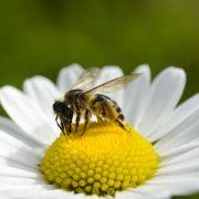 Gen-Pollen im Honig müssen auch künftig nicht aufs Etikett (Foto)