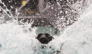«Dog Diving»: Mutige Hunde wagen den Wasser-Weitsprung (Foto)