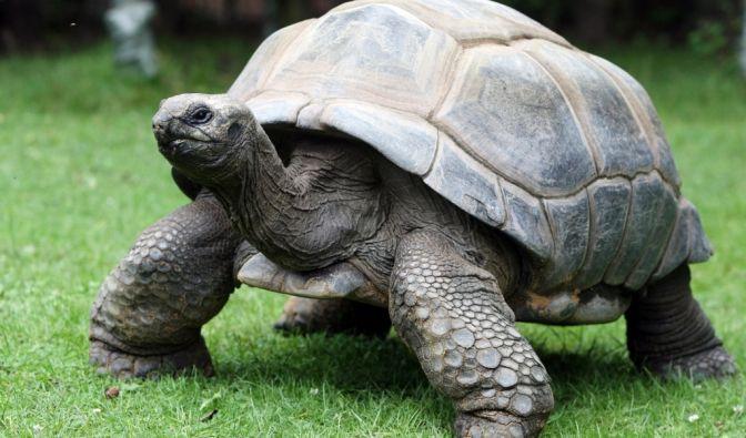 Als Riesenschildkröte Adwaitya um 1750 auf den Seychellen geboren wurde, spielte in Deutschland noch Friedrich der Große seine Flöte! (Foto)