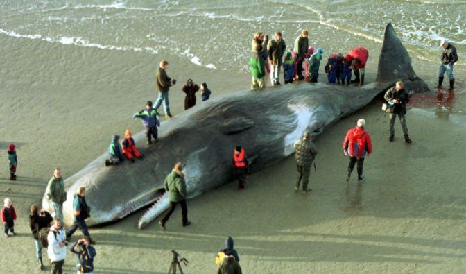 Der wahnsinnigste Taucher unter den Säugetieren ist der Pottwal. Bis zu 3000 Meter tief erkundet der riesige Wal den Ozean, eine Stunde lang kann er unten bleiben.