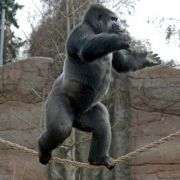 Der Gorilla schafft es, 900 Kilo zu stemmen.