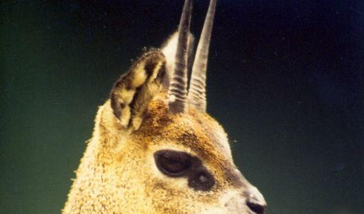 Dieses 60 Zentimeter kleine Antilöpchen, der Klippspringer, katapultiert sich aus dem Stand auf 8 Meter Höhe!