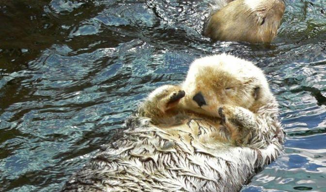 Während dem Mensch im Schnitt 300 Haare pro Quadratzentimeter wachsen, sind es bei dem Otterchen 120.000!