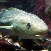 Steigende Wassertemperaturen bedrohen Fischbestände (Foto)