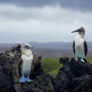Monogamie verhilft tropischen Meeresvögeln zu mehr Nachwuchs (Foto)