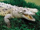 Krokodile machen auch vor kleinen Kindern nicht Halt (Symbolbild). (Foto)