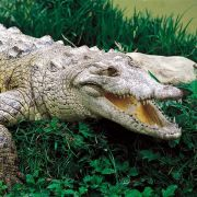 Krokodil verschlingt elfjährigen Jungen (Foto)