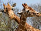 Auch bei schwulen Giraffen gilt: Wer hat den längsten ... Hals. Die Tiere fühlen sich zu Männlein undWeiblein hingezogen. Ganz besonders, wenn die Giraffen sich einsam fühlen, unterscheiden sie nicht bei der Geschlechterwahl. (Foto)