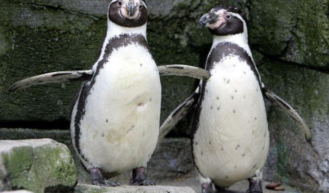 Im Zoo in Bremerhaven haben sich diese beiden männlichen Pinguine lieben gelernt - dank Mangel an weiblichen Artgenossen. Ein Versuch, die vom Aussterben bedrohten Pinguine zur Paarung zu bewegen, lief leiderschief. (Foto)