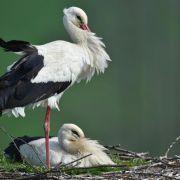 Gutes Storchenjahr: Fast alle Nester sind schon belegt (Foto)