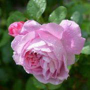 Richtiger Boden für Rosen:Die Erde lockern und umgraben (Foto)