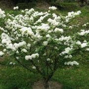 Blütenzauber in Kuchenform: der Japanische Schneeball 'Mariesii' (Foto)