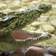 120-Kilo-Frau zermatscht Krokodil (Foto)