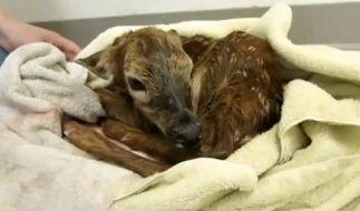 Die Tierärzte gaben dem Rehkitz den Namen Bambi. (Foto)