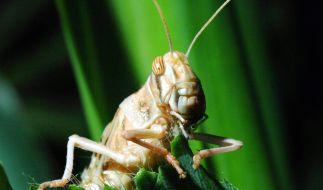 Die Stabheuschrecke kann am längsten. (Foto)