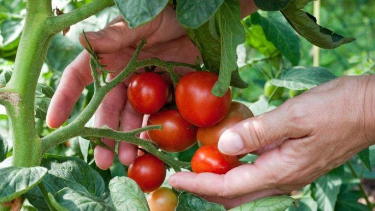 Wöchentlich Tomatenpflanzen ausgeizen (Foto)