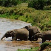 Die Elefanten retten ihr kleines Baby.