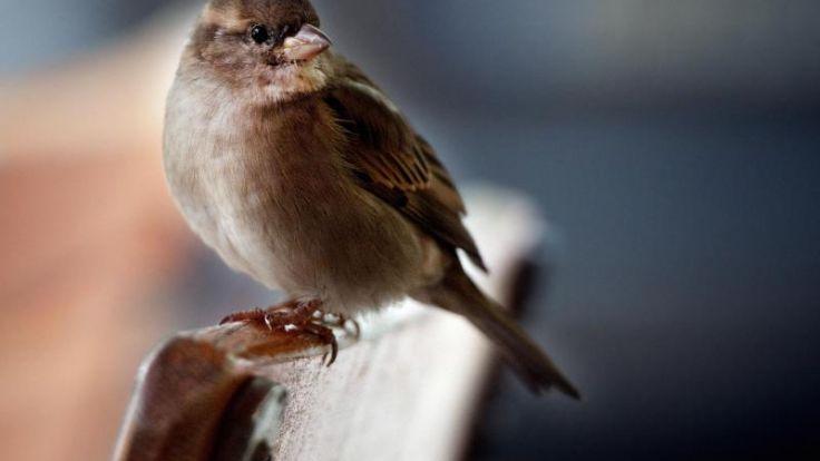 «Stunde der Gartenvögel»: Spatz an der Spitze (Foto)